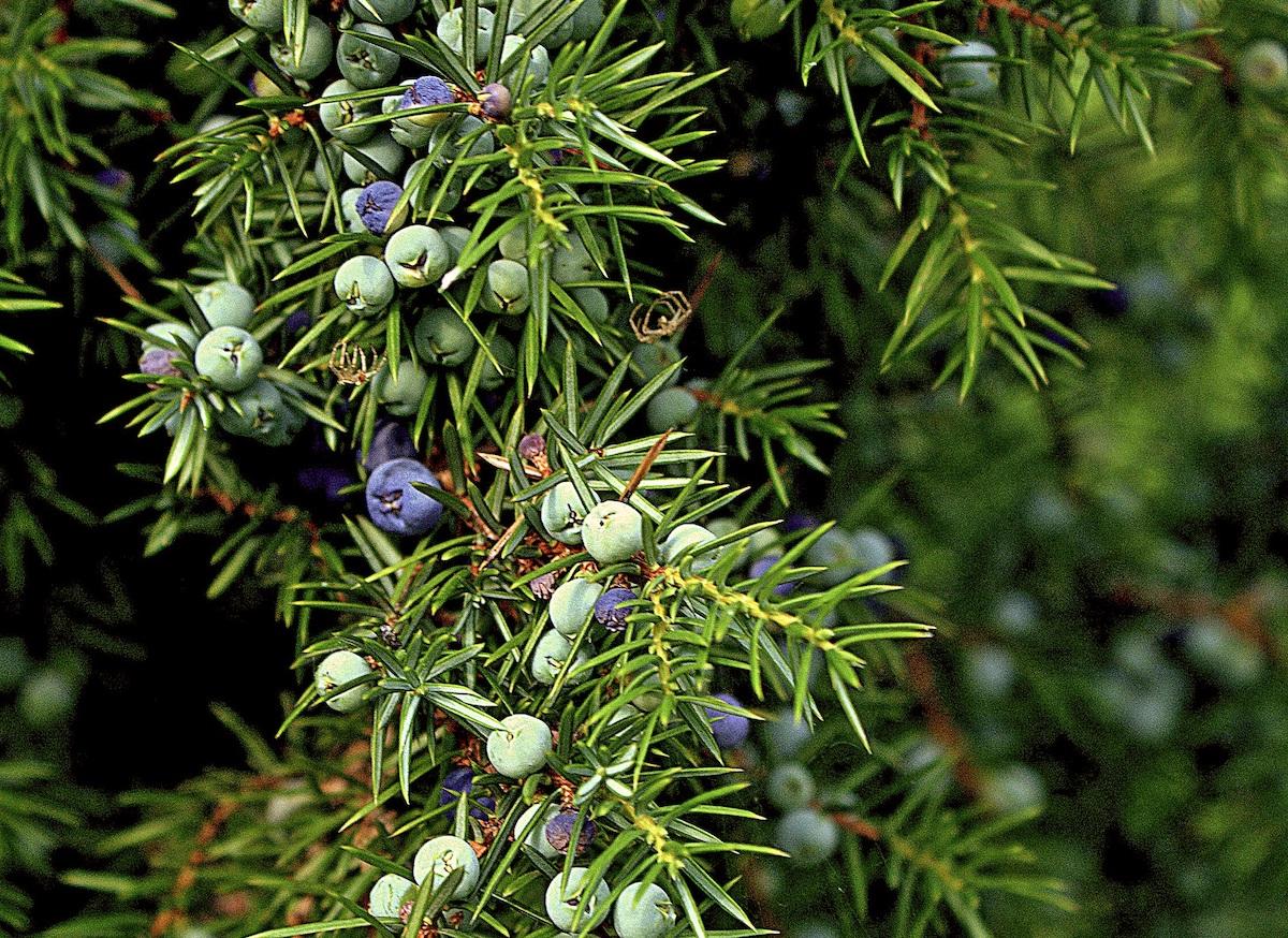 Juniper berries on a tree