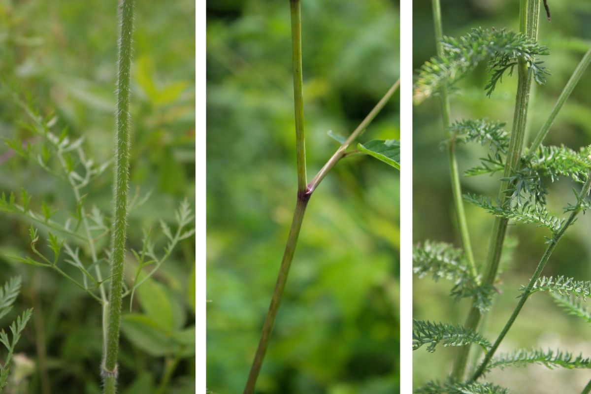 A comparison of the stems for Queen Anne's Lace, hemlock, and yarrow