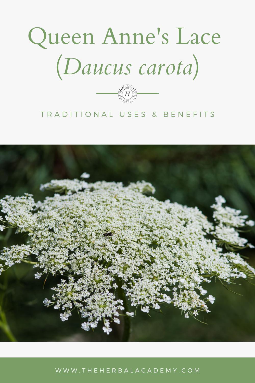 Daucus carota traditional uses Pinterest graphic