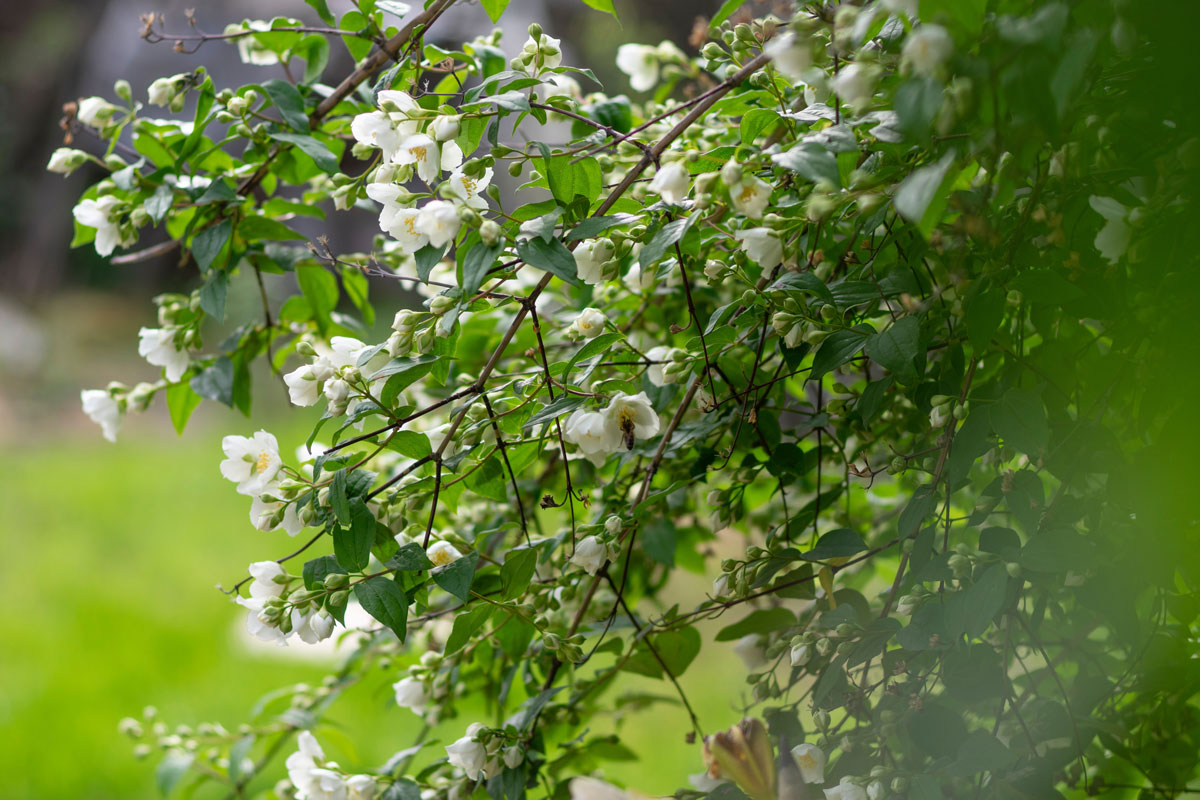 Jasmine is a featured ingredient in this DIY room spray
