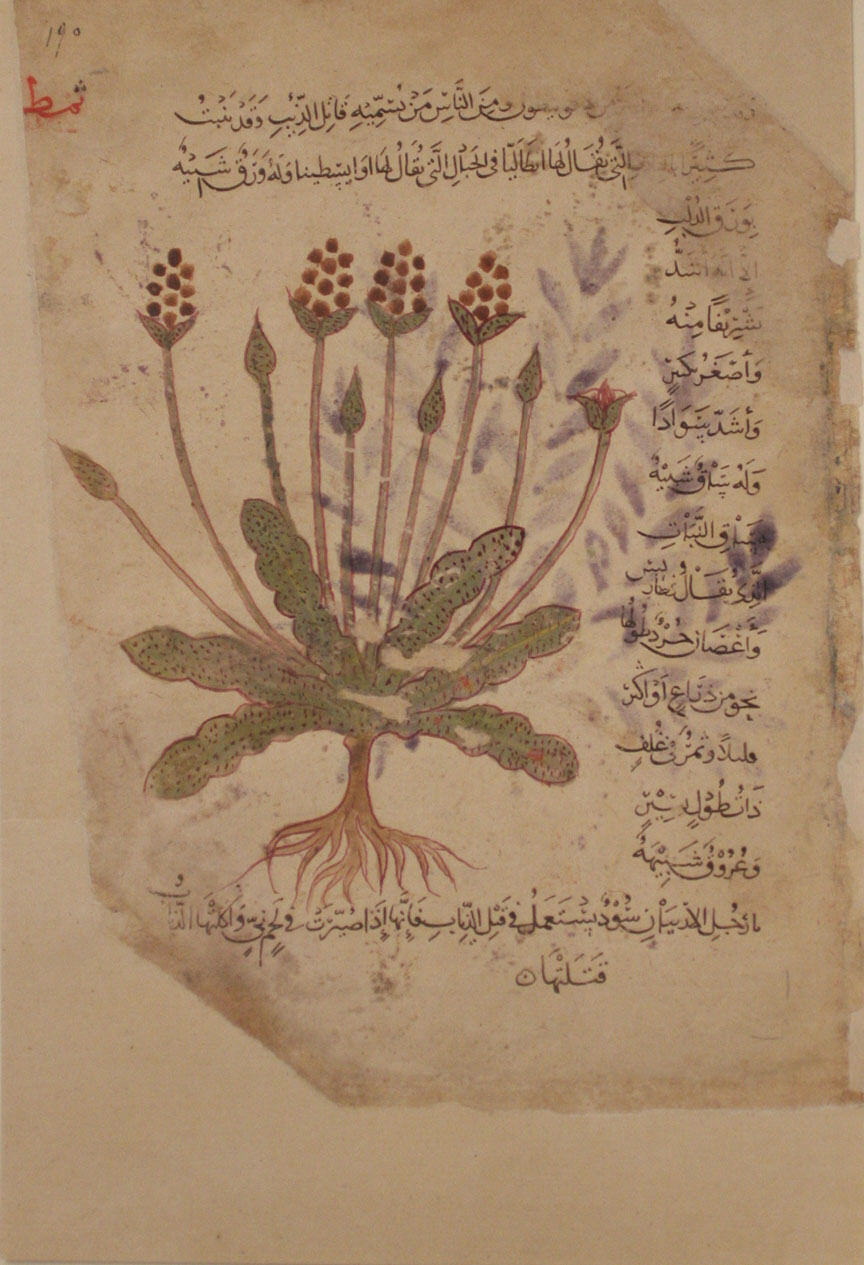 A page from De Materia Medica