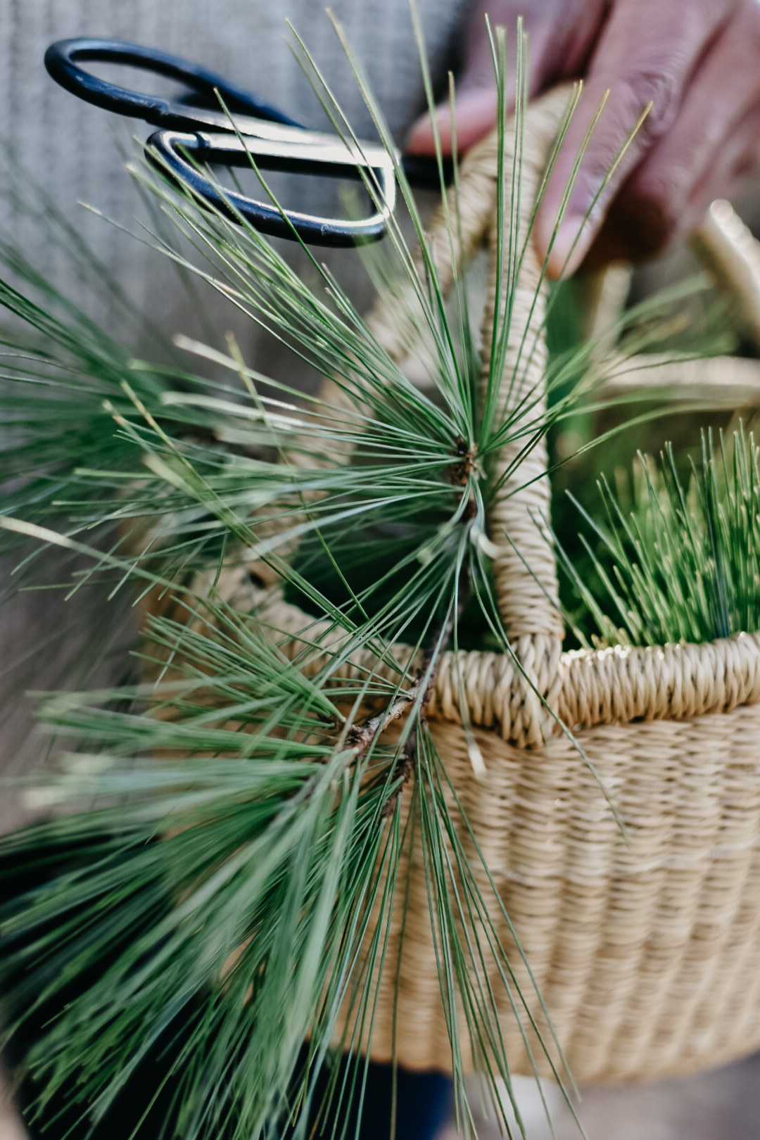 Pine needles in a whicker basket for a winter foraging adventure.