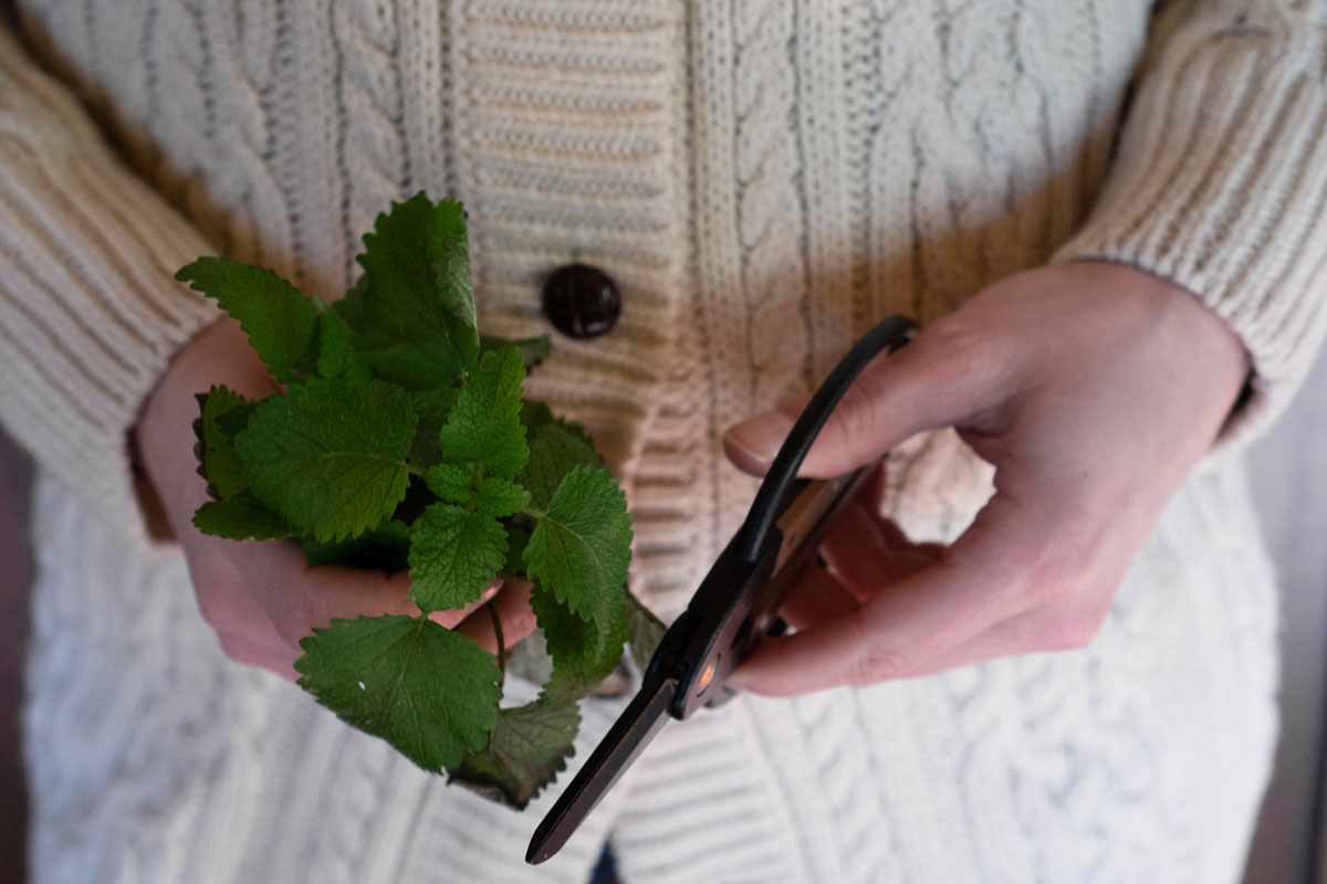harvesting peppermint in winter