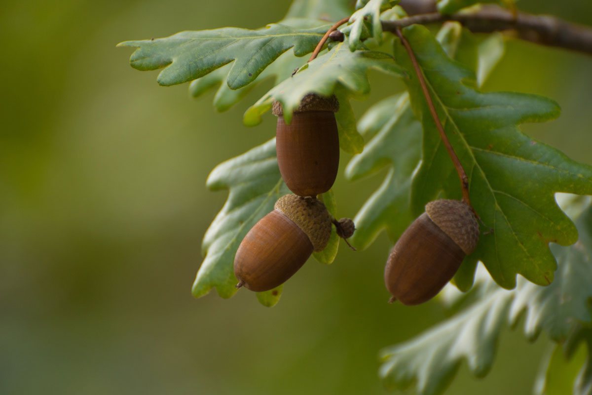 Acorns are a great find for a winter foraging expedition.