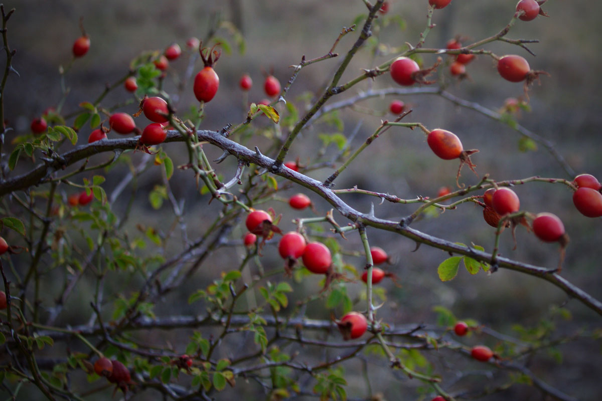 Look for rose hips on your winter foraging adventures.