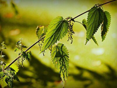 Nettle Leaf Nursing Tea with Oatstraw and Alfalfa   Herbal Academy   stinging nettle