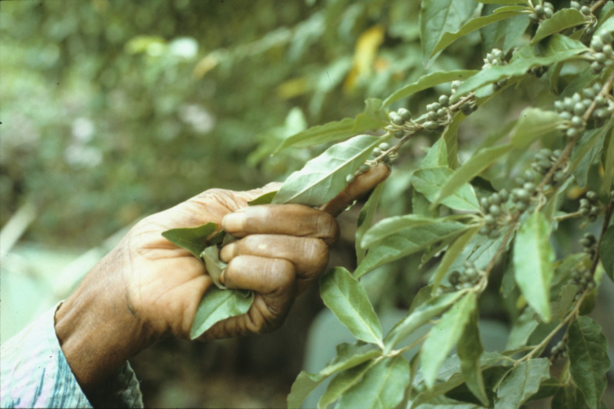 Emma Dupree showing leaves and berries on a tree