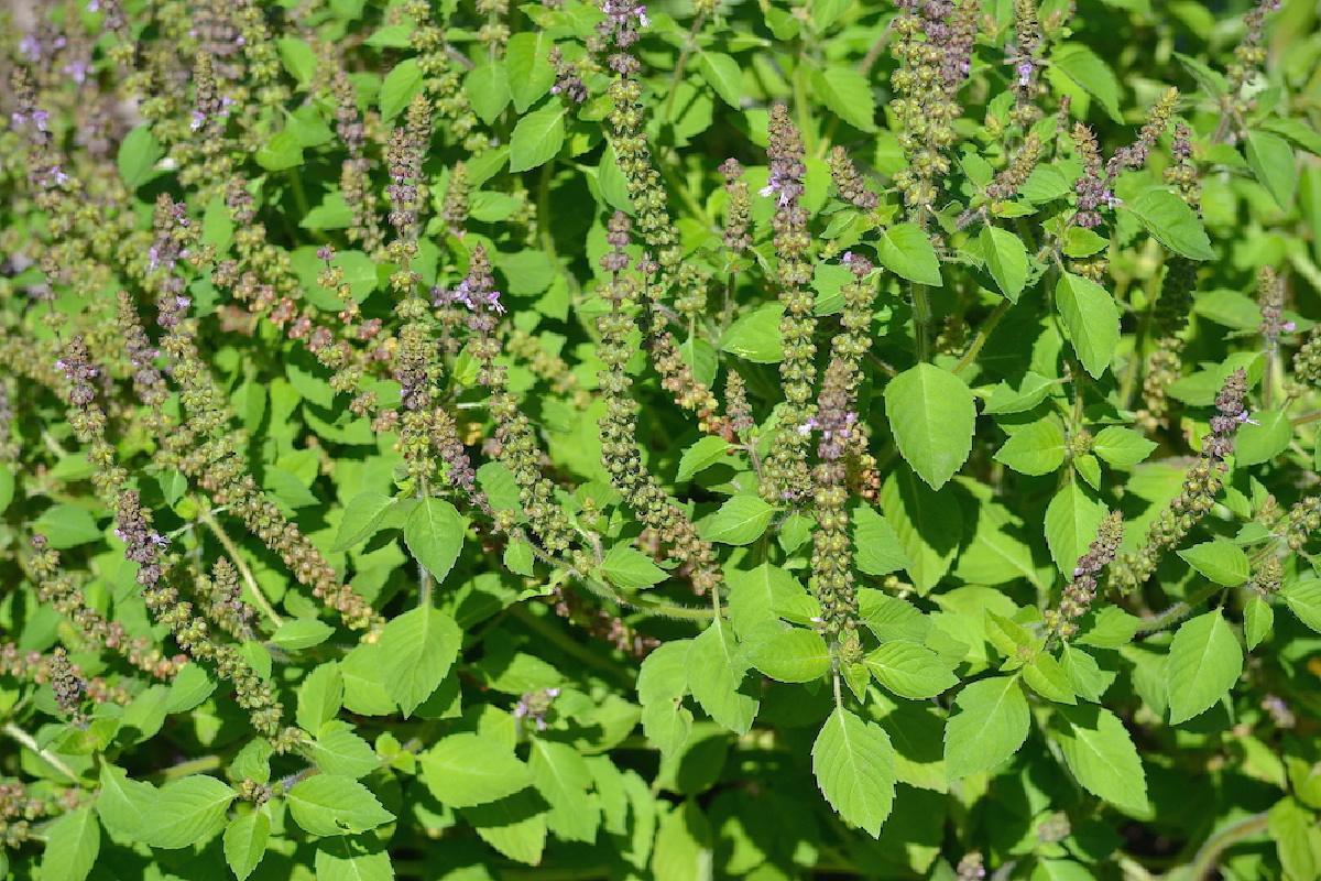 tulsi growing outdoors