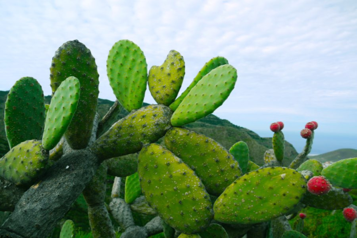 prickly pear growing outdoors