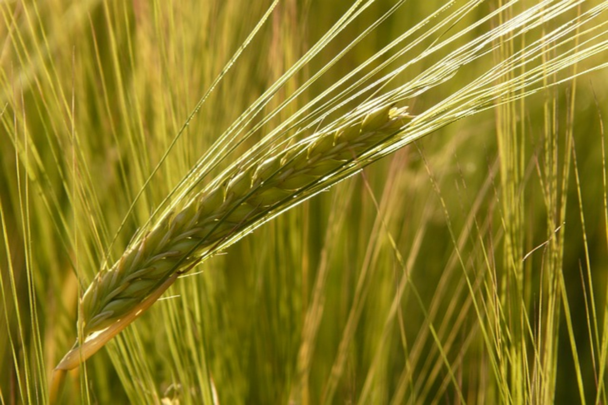 barley can be a helpful herb for supporting work-life balance and nerves
