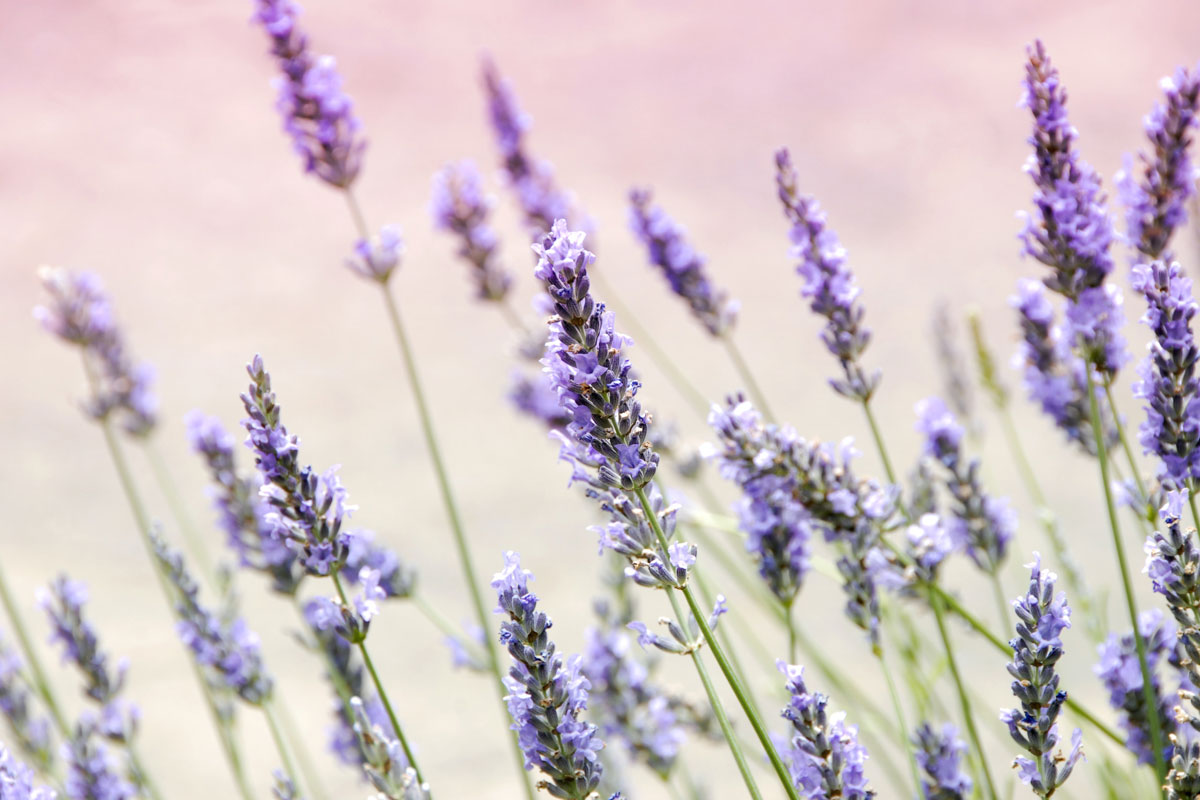 Lavender is one of the most tested essential oils for sleep