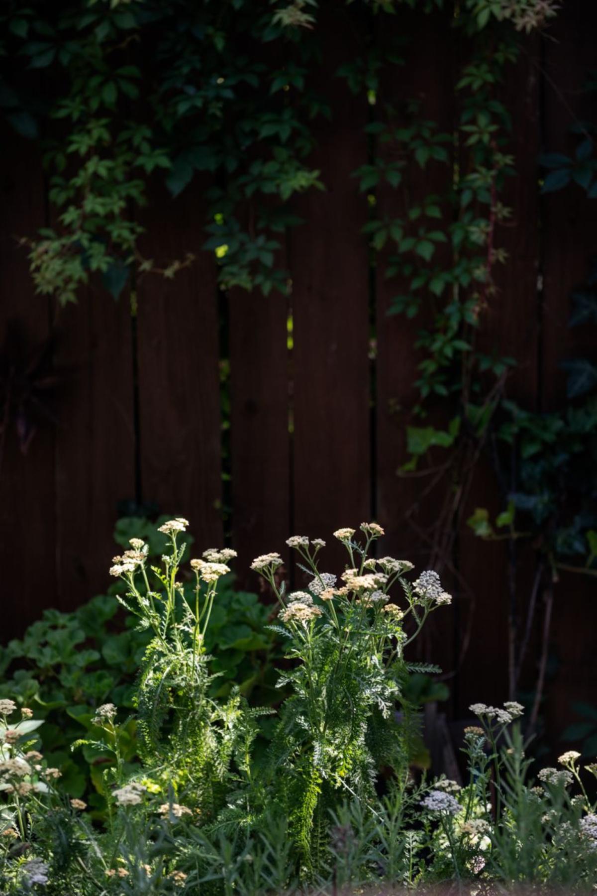 yarrow growing outside