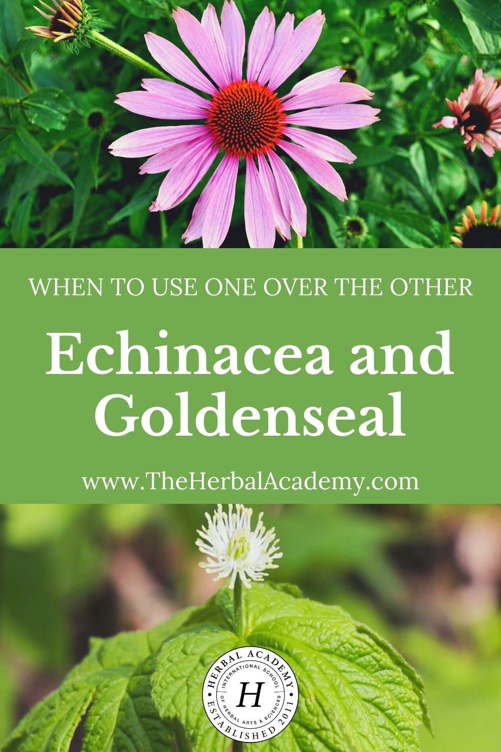 Echinacea and Goldenseal: When to Use One Over the Other | Herbal Academy | In this post, we offer guidance about the best times to use echinacea and goldenseal, along with sustainable replacement options for each.