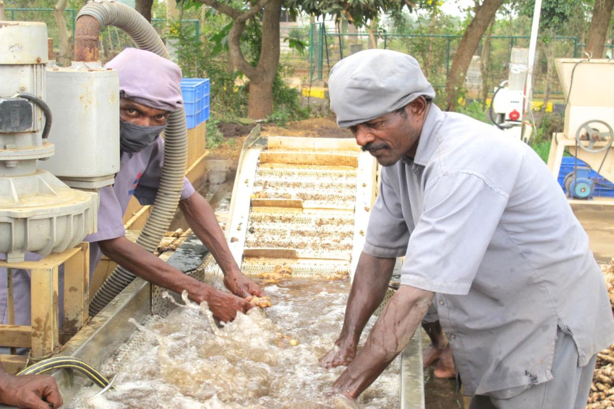 men washing ginger root