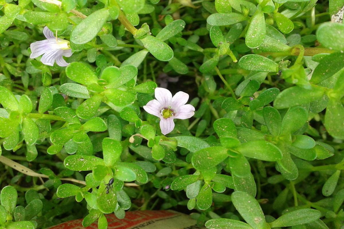 brahmi growing as an herbal ground cover