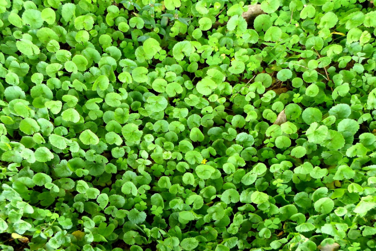 photo of gotu kola for nourishing herbs
