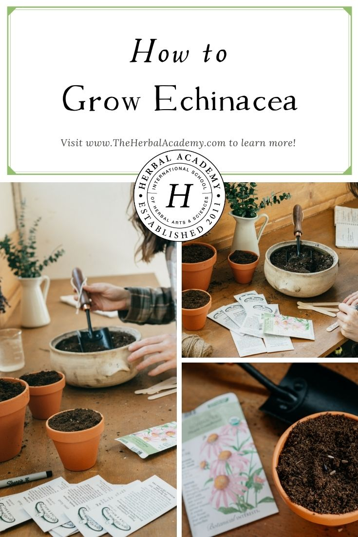 How to Grow Echinacea | Herbal Academy | Learning how to grow echinacea is ecologically responsible. Plus, you will develop a deeper relationship with a fantastic herbal ally.