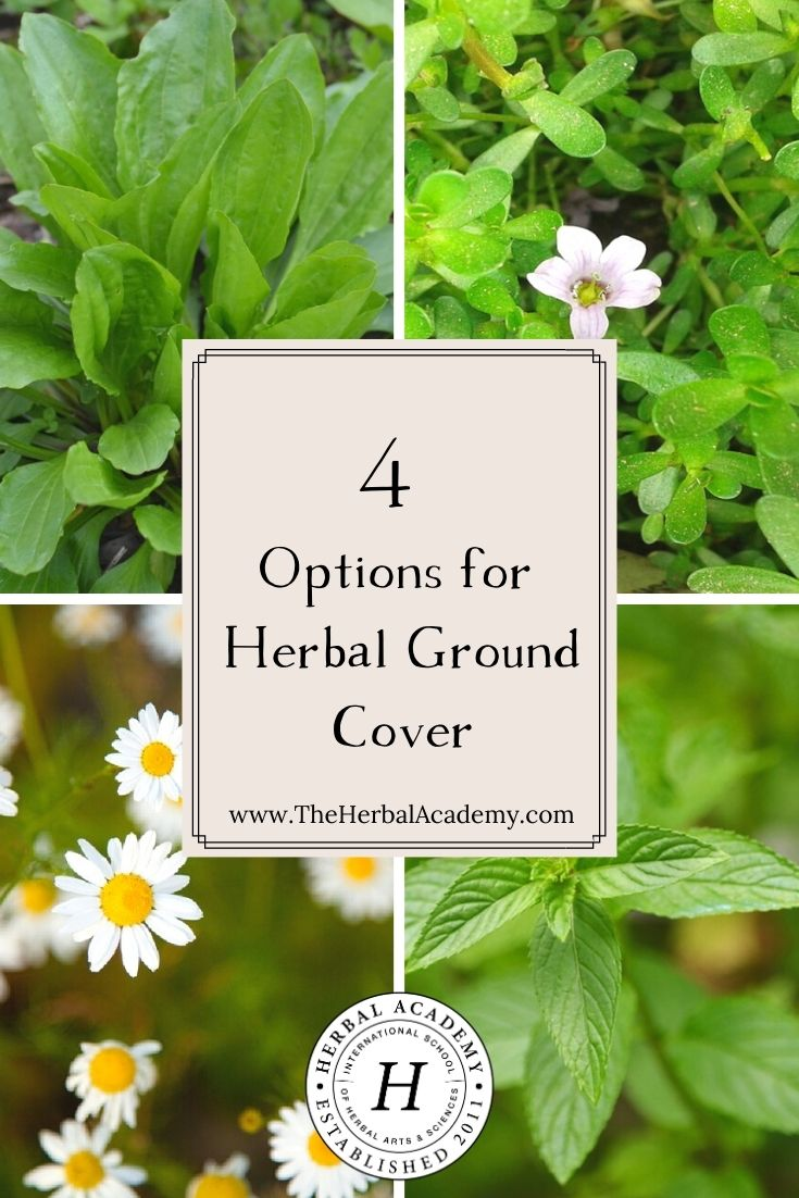 4 Options for Herbal Ground Cover | Herbal Academy | If you need to fill a space in your garden bed or where grass has a difficult time growing, we have 4 great ideas for herbal ground cover!