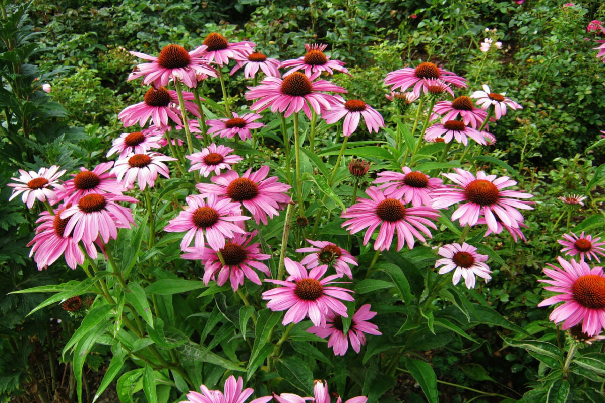 patch of echinacea growing in the wild