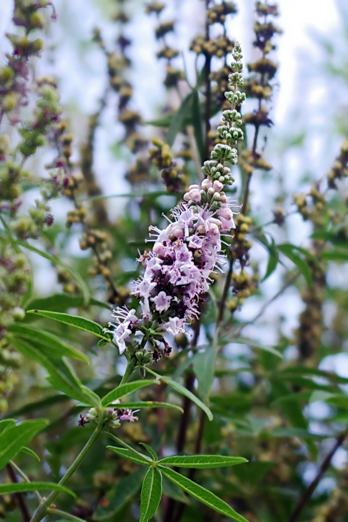 close-up of chaste tree branch with purple flowers