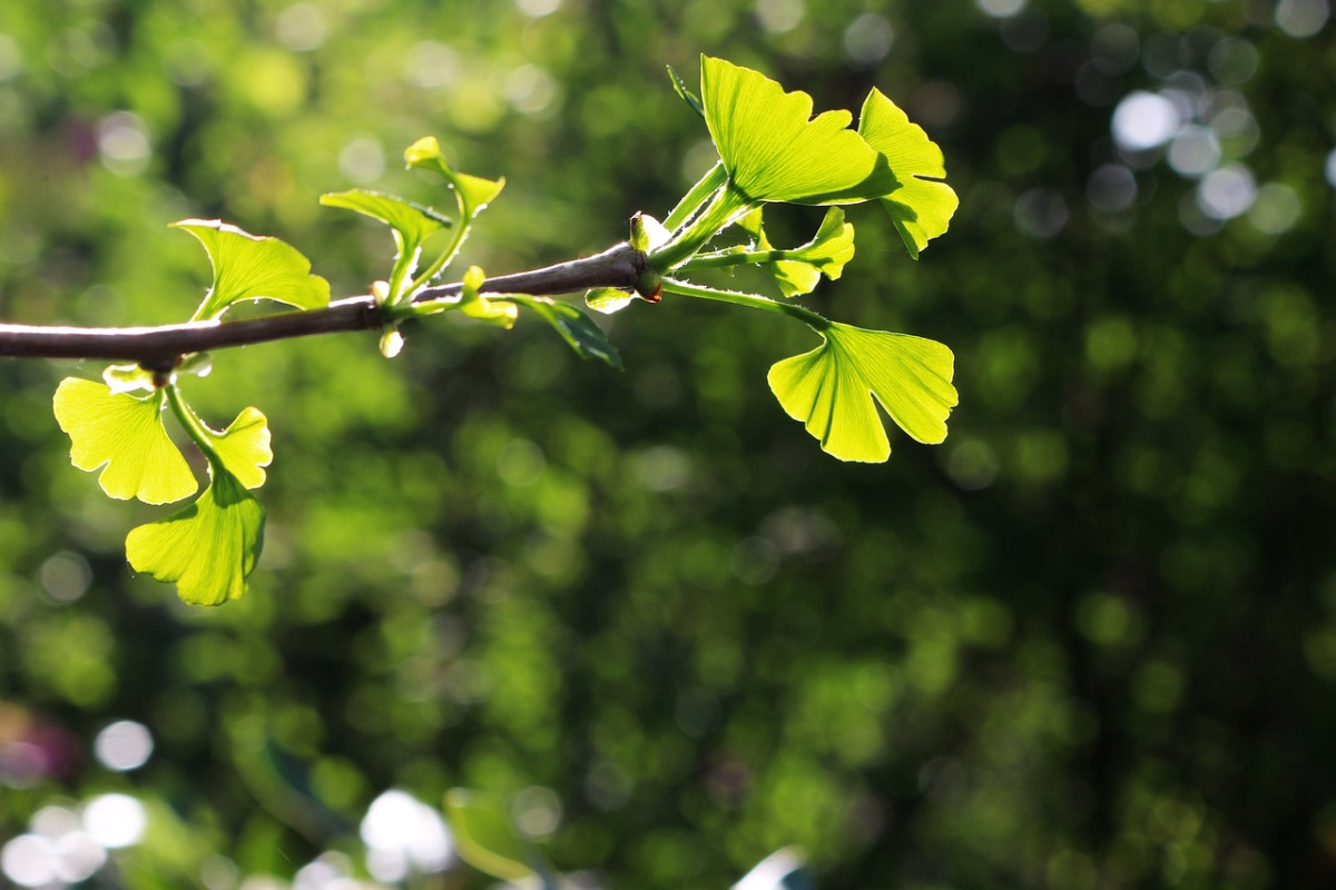 ginkgo tree branch