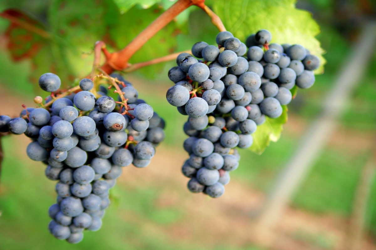 grape clusters growing on a vine