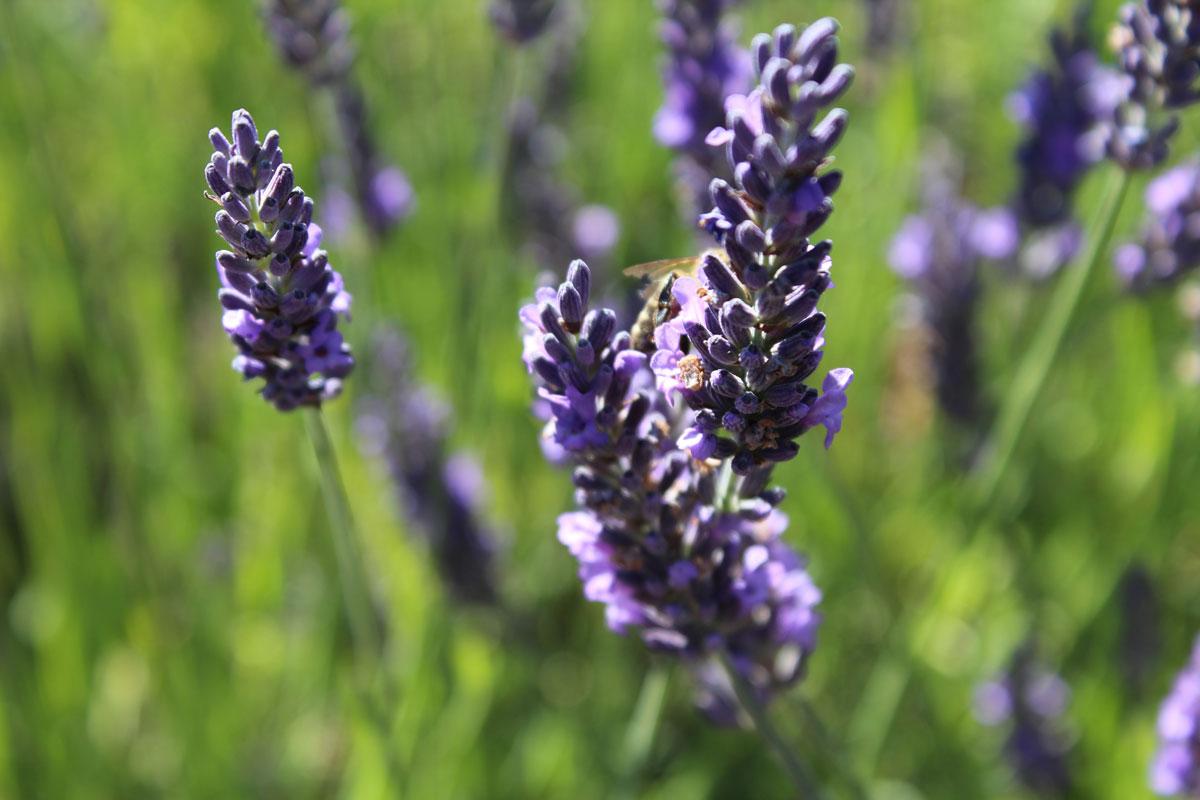 lavender in the wild