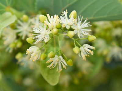 Herbal Trees | Herbal Academy | Add herbal trees to your landscape to not only beautify your environment, but also to aid in the nourishment and health of your body.