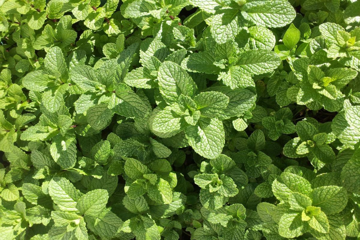 mint growing outside