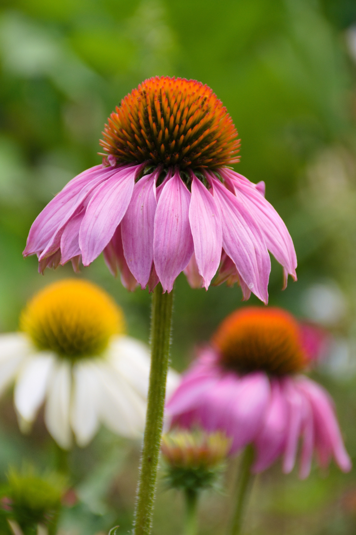 upper part of echinacea plant growing in the wild