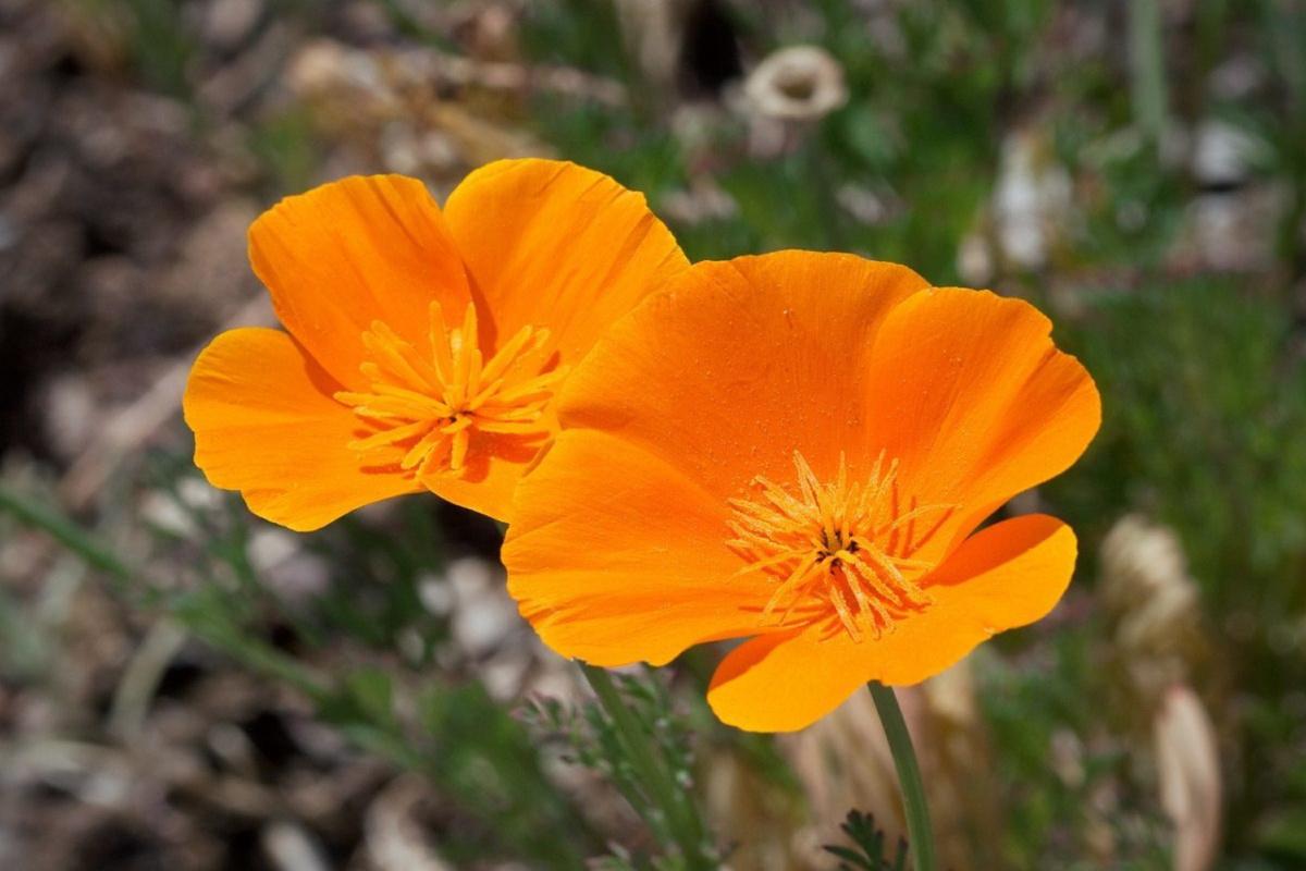 2 California poppy flowers in the wild