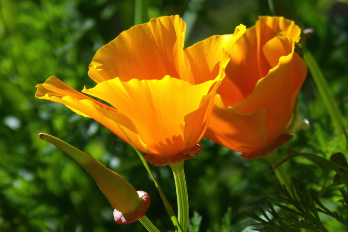 California poppies growing in the wild