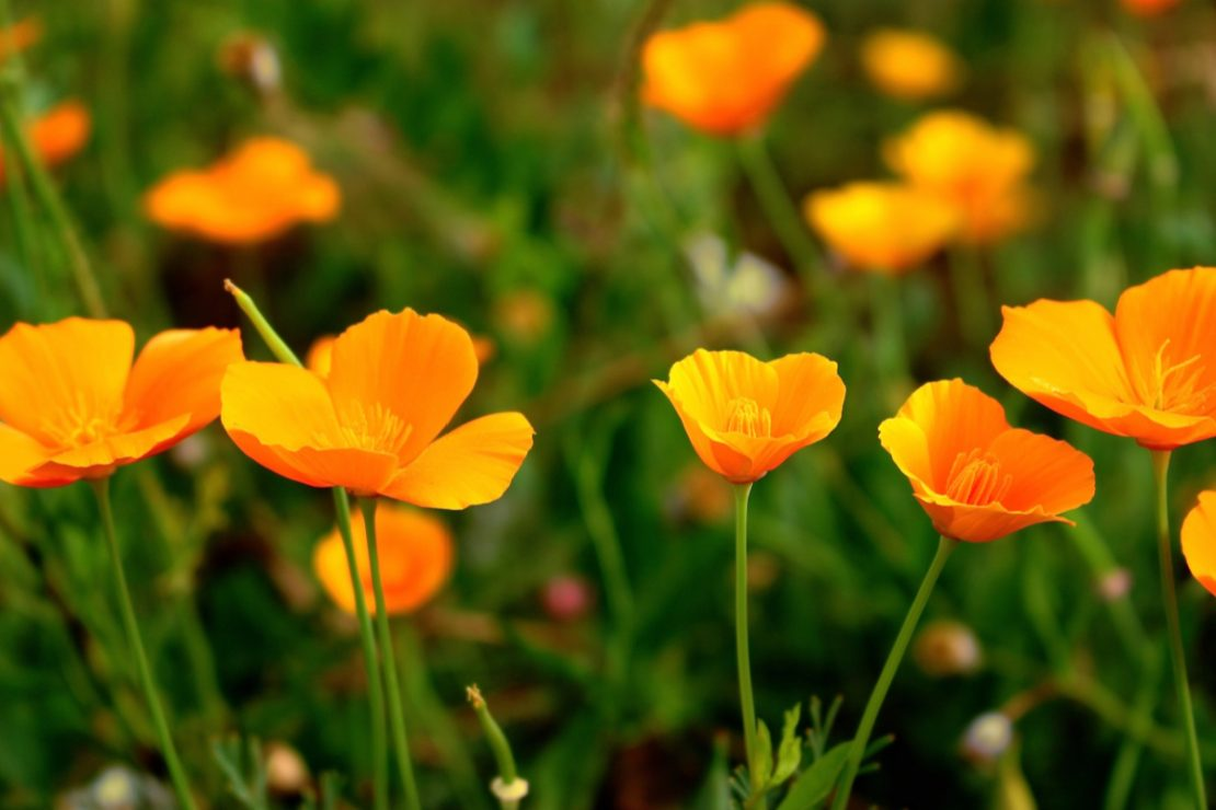 California Poppy Benefits + Recipe | Herbal Academy | Learn a materia medica on the beneficial California poppy benefits, plus a recipe for California Poppy Vinegar.