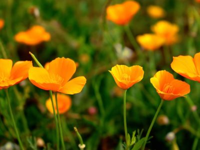 California Poppy Benefits + Recipe | Herbal Academy | Learn a materia medica on the beneficial California poppy benefits, plus a recipe for California Poppy Vinegar.