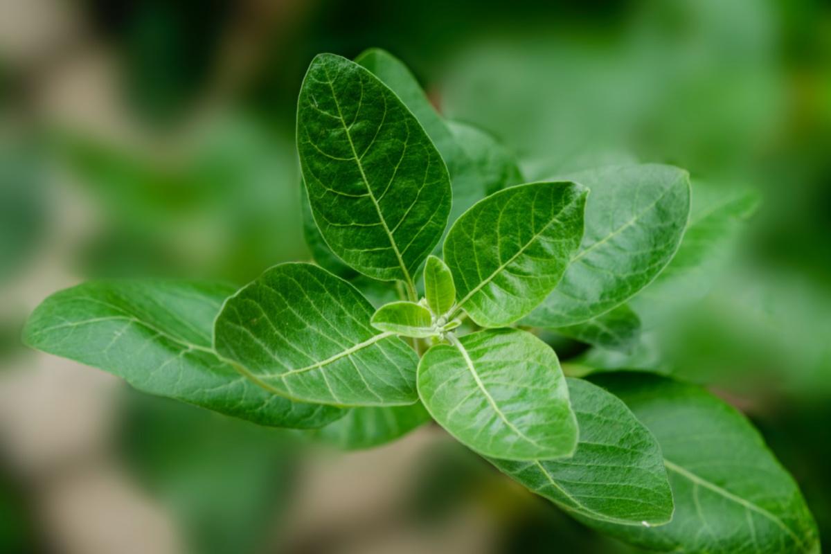 ashwagandha growing wild