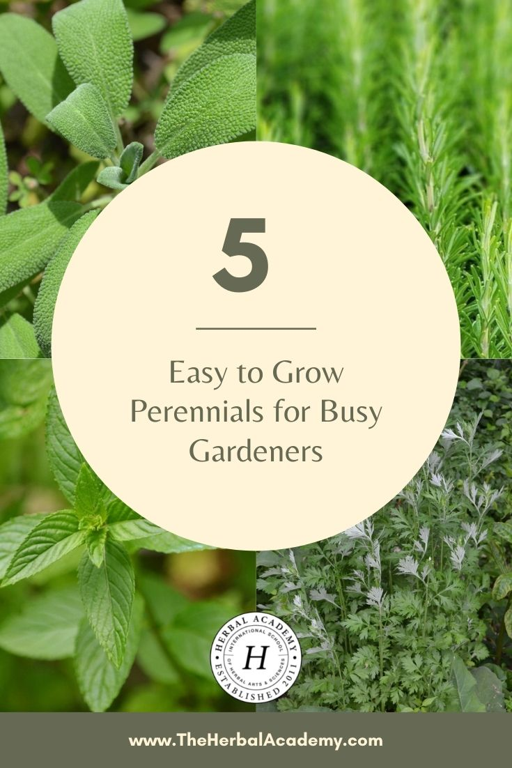 5 Easy to Grow Perennial Herbs for Busy Gardeners | Herbal Academy | Perennial herbs are some of the easiest plants to grow due to their hardiness, simple upkeep, and ability to regrow every year without assistance.
