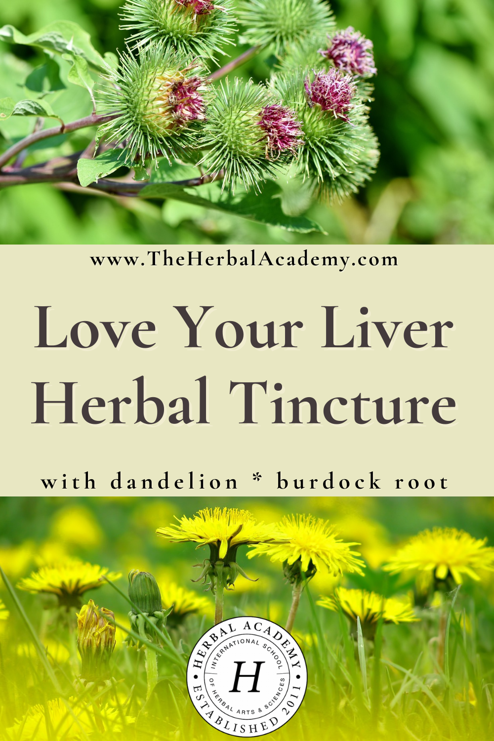 Love Your Liver Herbal Tincture | Herbal Academy | Exposure to chemicals in the air and water can become taxing on the liver. Check out this liver tincture recipe for healthier liver function.