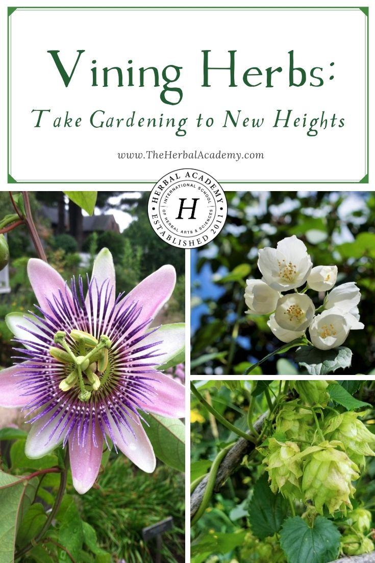 Vining Herbs: Take Gardening to New Heights | Herbal Academy | Vining herbs make a flourish in the garden and, if you choose the right plants, they can also be a helpful addition to your home apothecary.