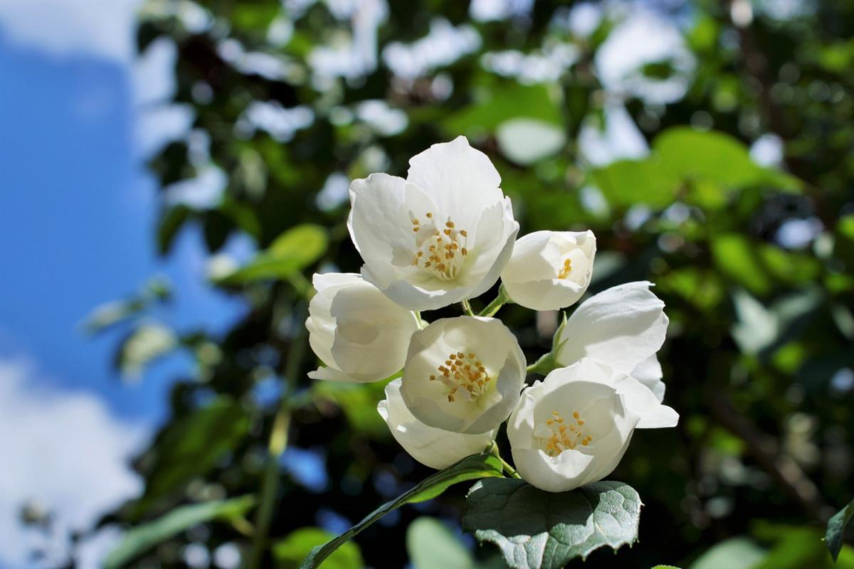 jasmine growing outside