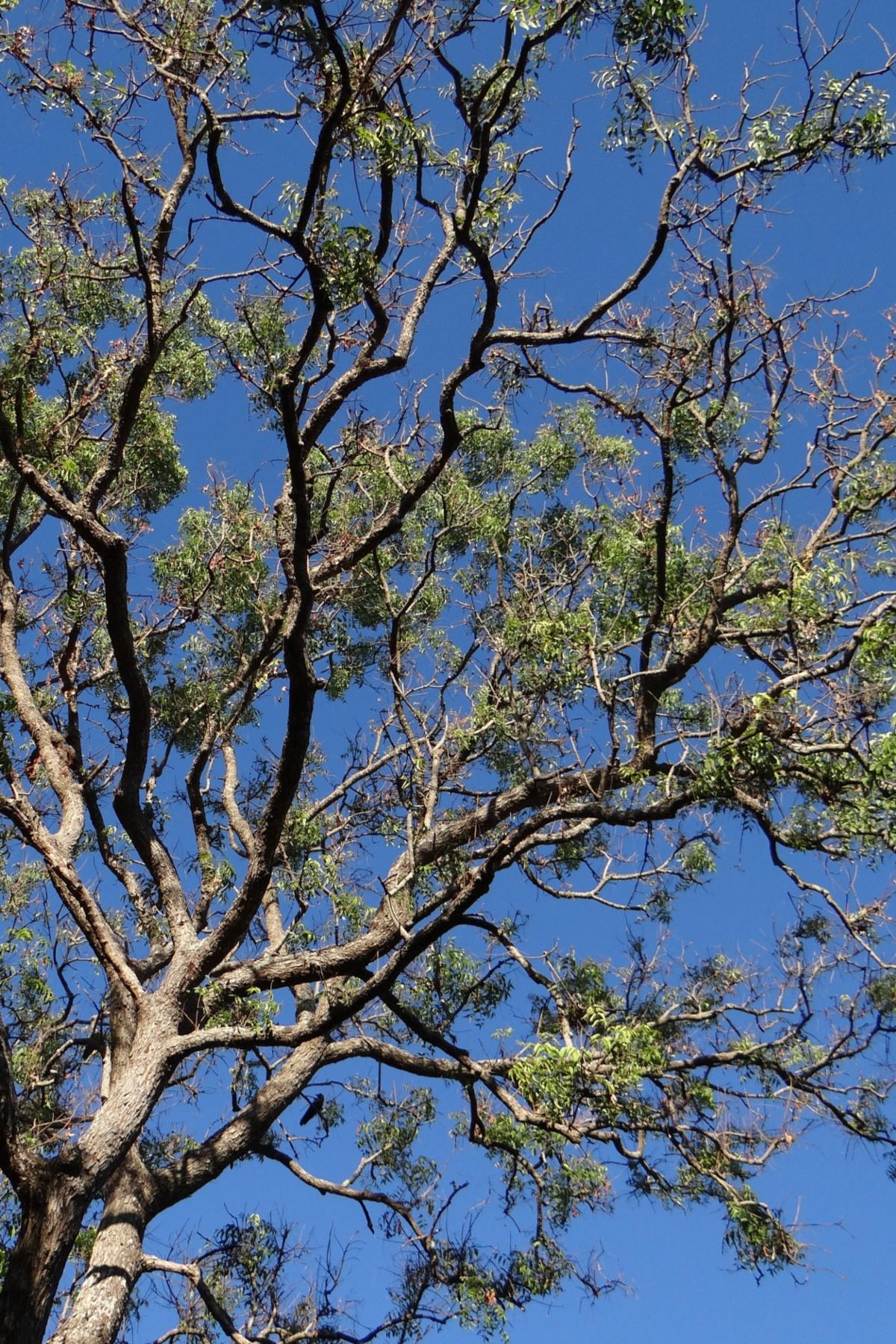 large neem tree