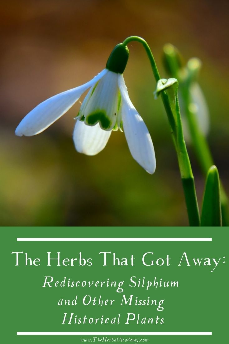 The Herbs That Got Away: Rediscovering Silphium and Other Missing Historical Plants | Herbal Academy | By exploring the uses of these three historical plants in antiquity, we can honor their memory and their once-celebrated gifts.