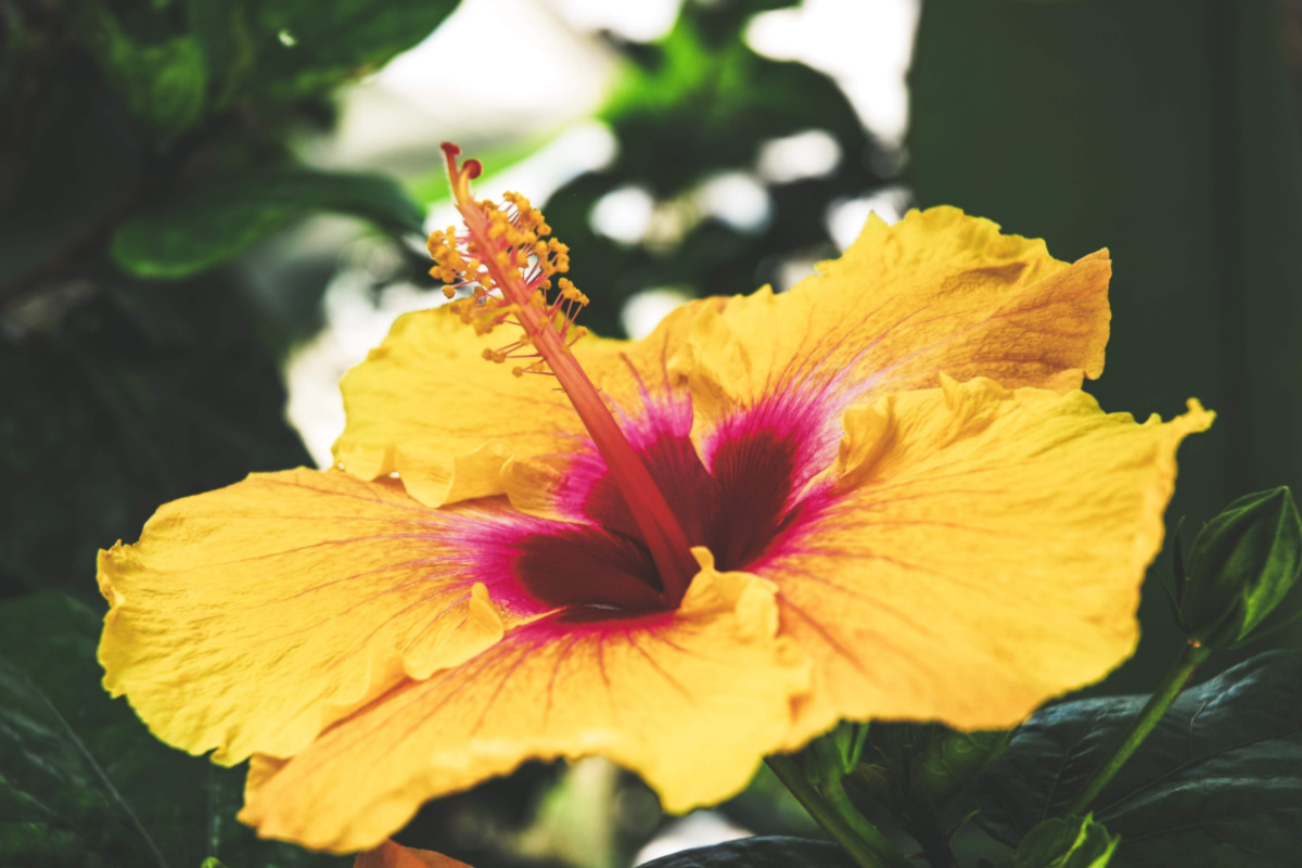hibiscus growing outside
