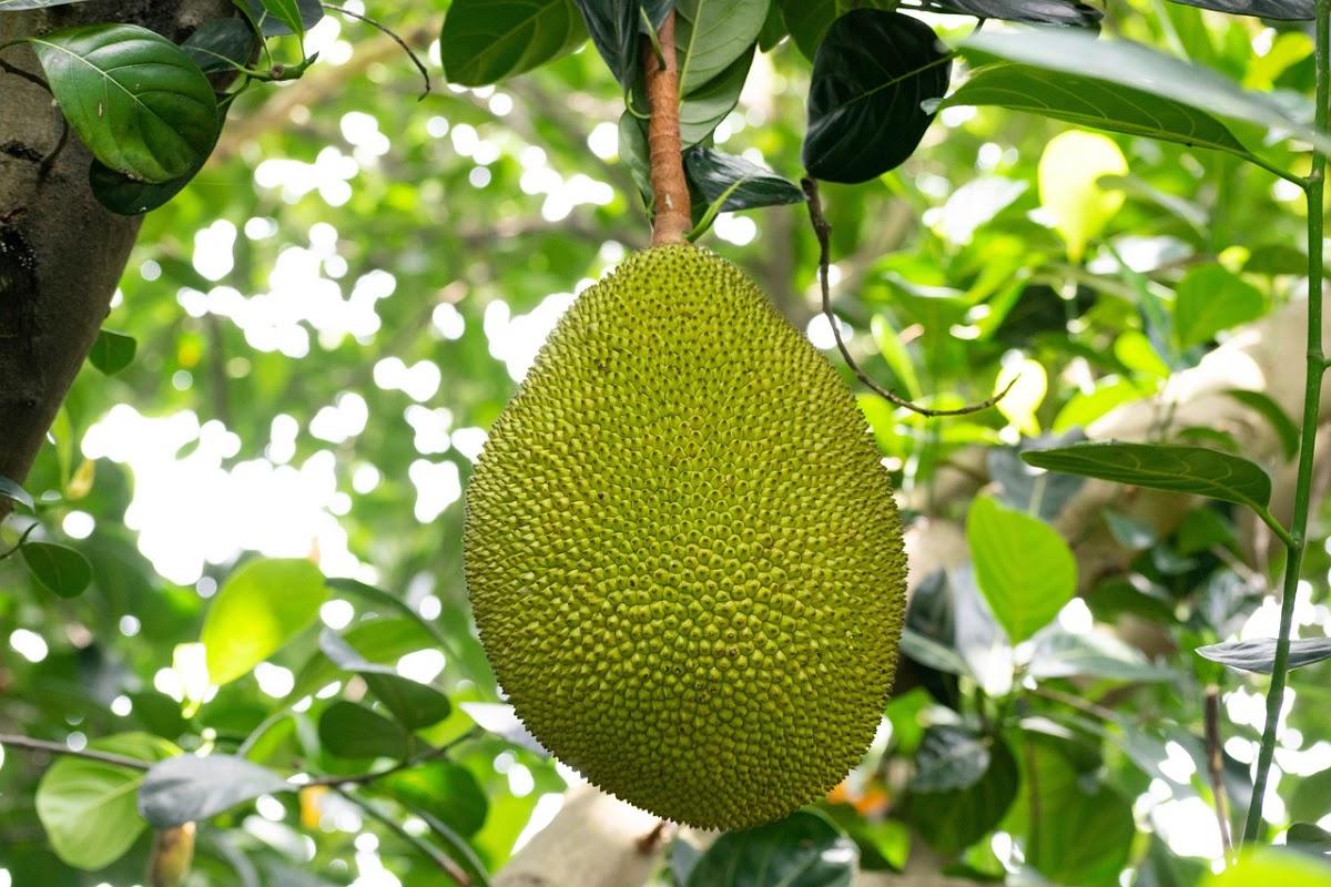 jackfruit growing outside