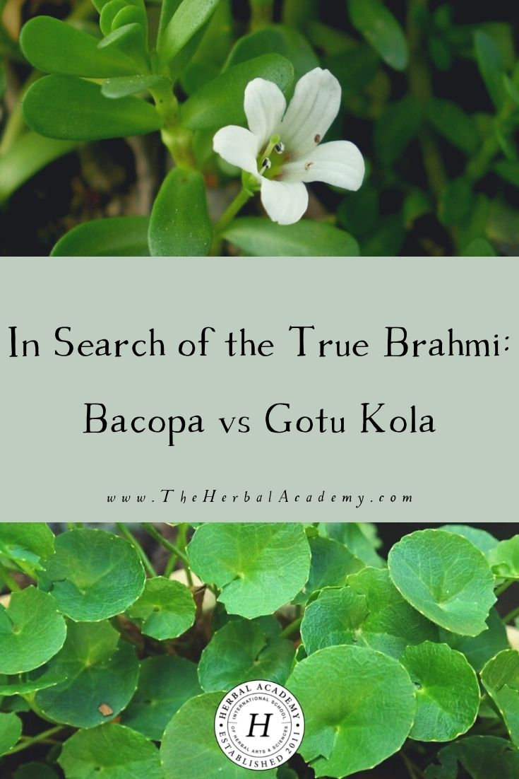 In Search of the True Brahmi: Bacopa vs Gotu Kola | Herbal Academy | After reading this post, you will be left with a more clear understanding of bacopa vs gotu kola and why brahmi is an apt name for both.