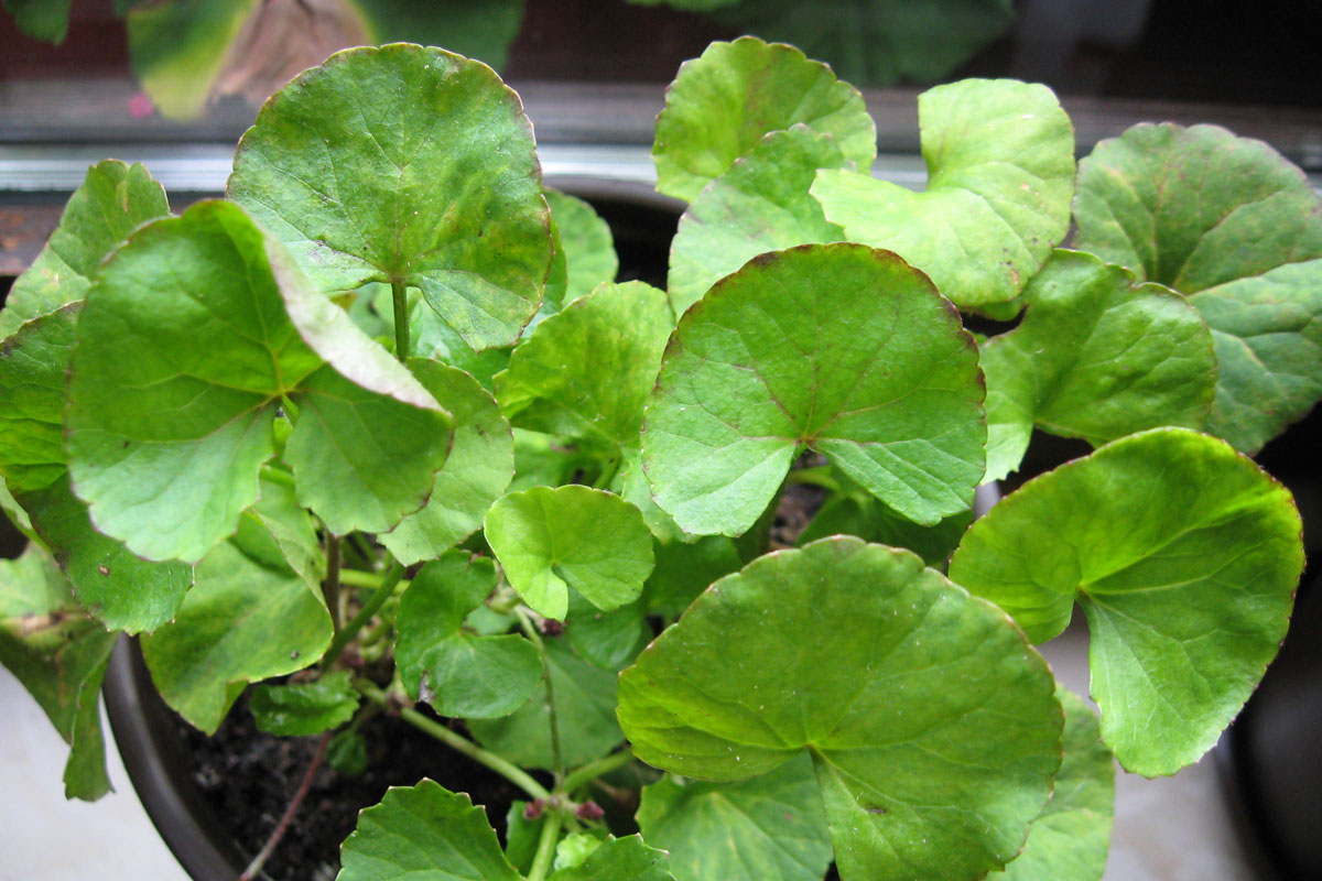 gotu kola growing in a container