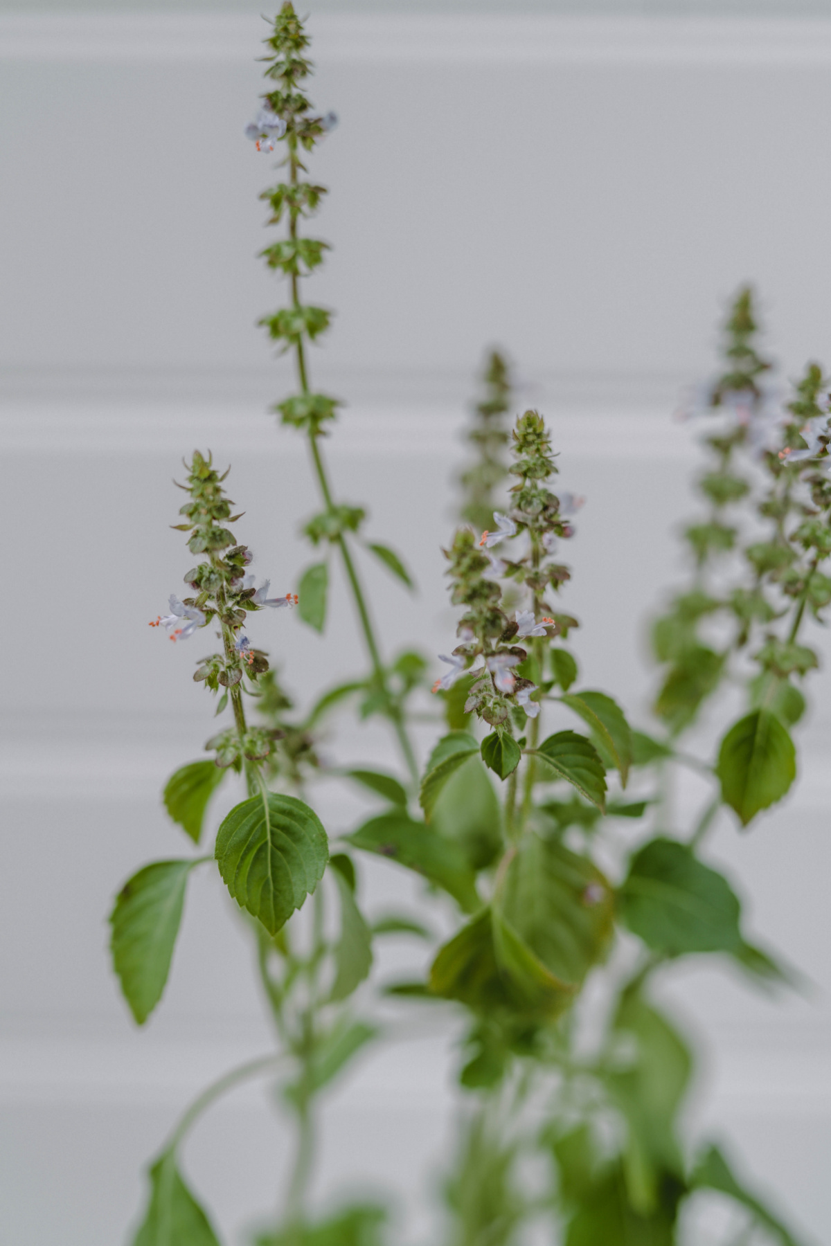 holy basil in a container