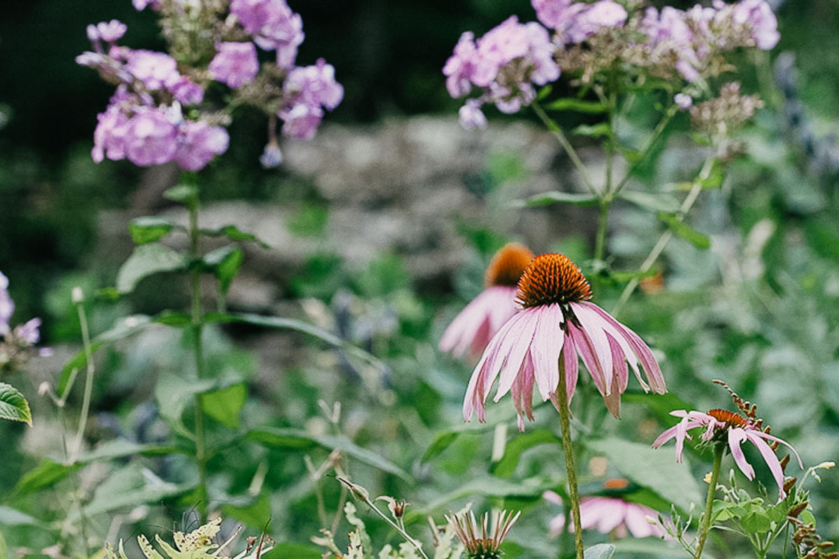 Learning Herbalism - Advanced Herbal Course for clinical preparation echinacea-2