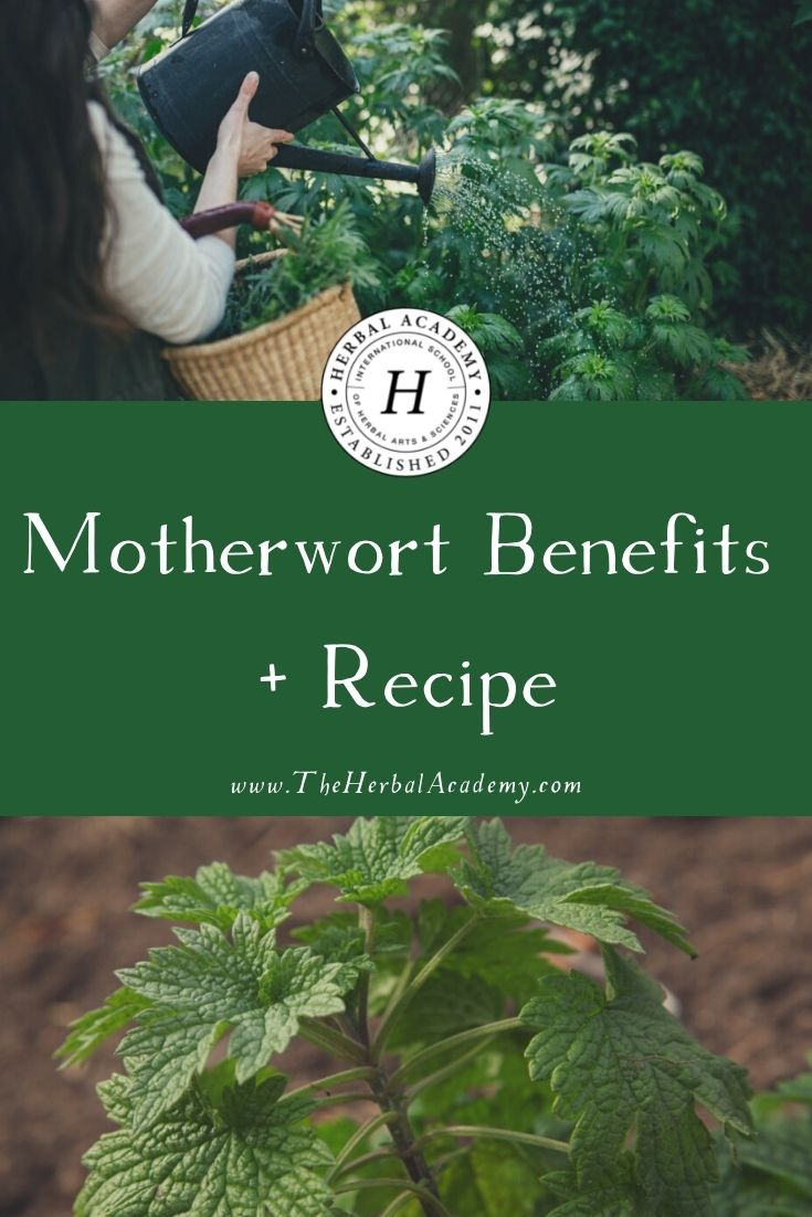 Motherwort Benefits + Recipe | Herbal Academy | We will discuss gathering and using motherwort, as well as motherwort benefits. We also have an herbal honey recipe for you to try!