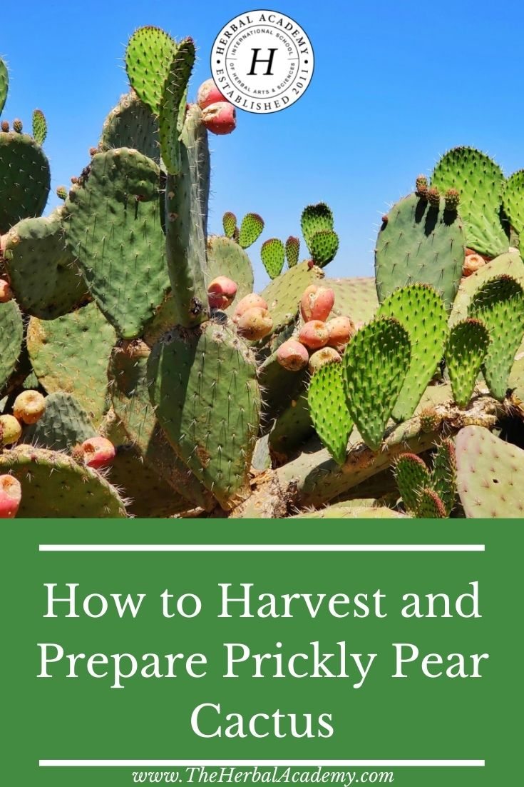 How to Harvest and Prepare Prickly Pear Cactus | Herbal Academy | Learn how to harvest and prepare prickly pear cactus as a delicious food. We have two yummy recipes for you to try!