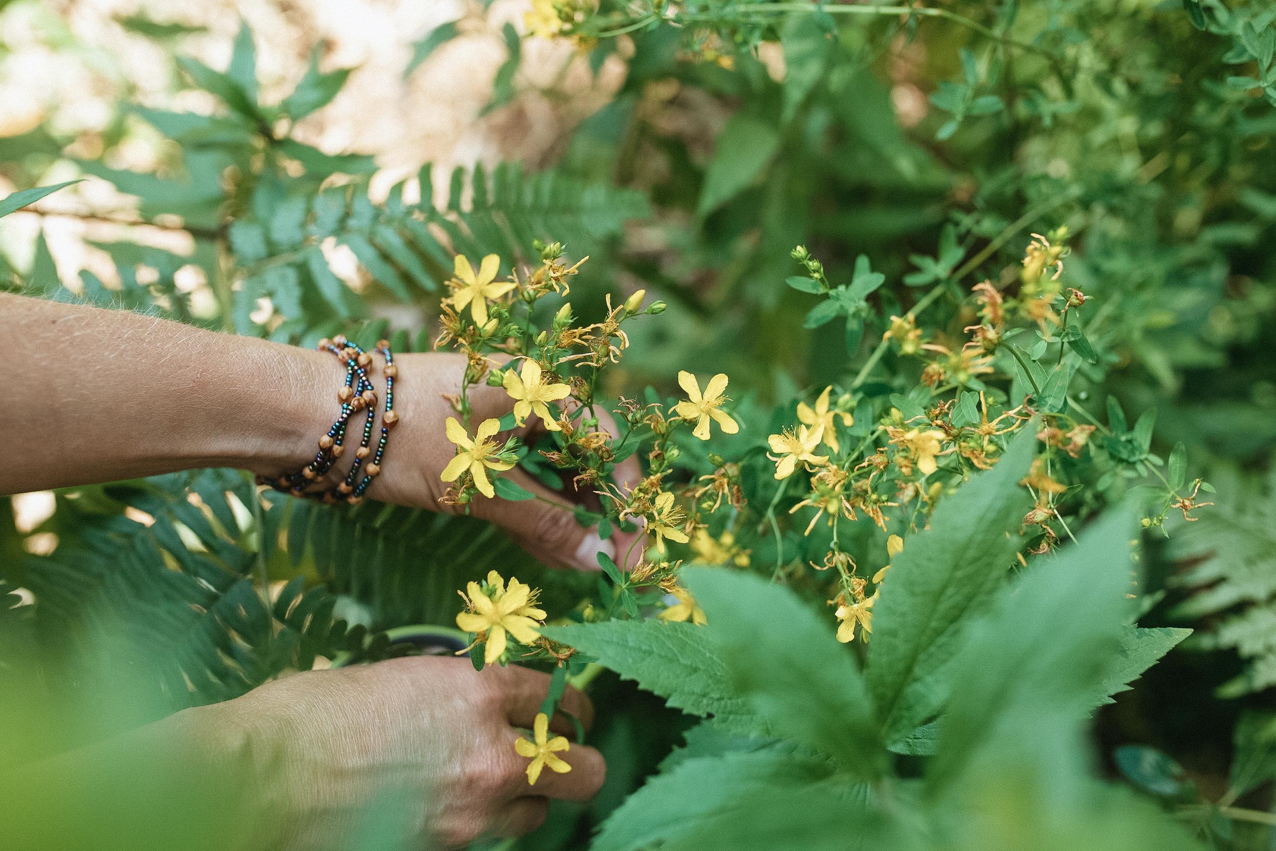 Wildcrafting - Herbalism Courses by Herbal Academy